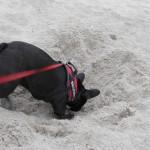 035 - dacht dat we een franse bulldog hadden geen duitse