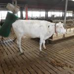 073 - de koe had jeuk aan haar kont