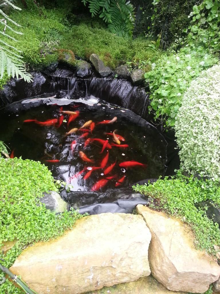 135 - ook goudvissen