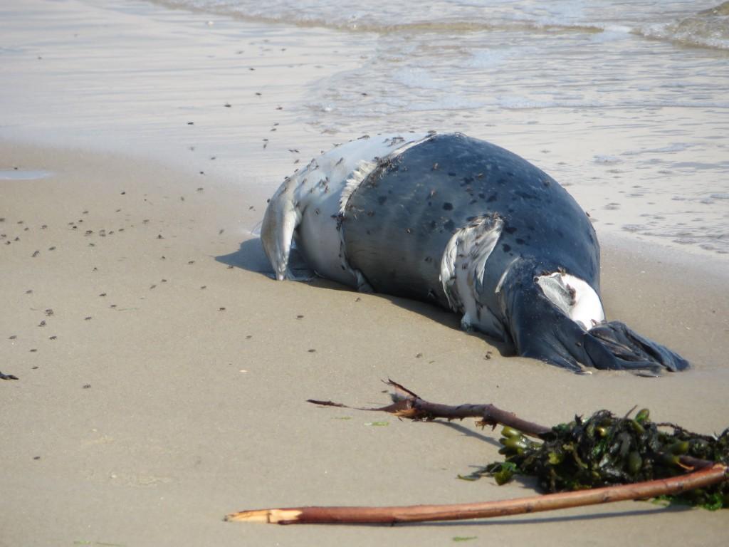 99 - we kwamen het strand op en daar vonden we een dode huiler, zo jammer